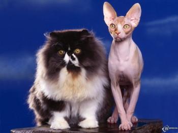 Толстый и худой кот