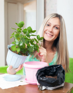 Young woman transplants potted Kalanchoe flower at her home