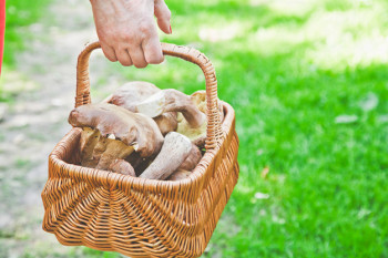 Luck mushroom picker. Basket with white porcini mushrooms.