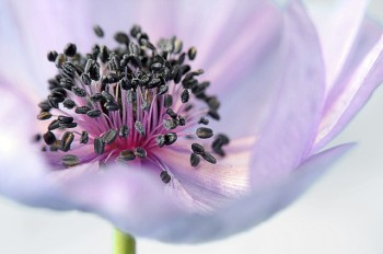 anemone-179006_640